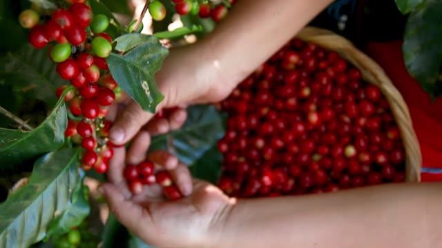 vidéos et rushes de femme récoltant des baies fraîches de café, et les plaçant dans un osier fait de fibre - plantation