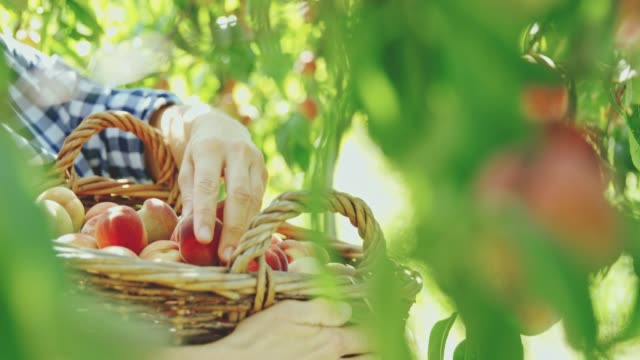 Woman harvesting fresh,ripe peaches in orchard,slow motion