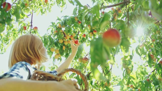 woman harvesting fresh,ripe peaches in orchard,slow motion - vivere semplicemente video stock e b–roll