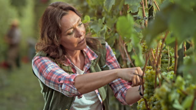DS Woman harvesting grapes by hand in sunny vineyard video