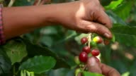istock Woman harvesting red mature coffee berries 1265744979