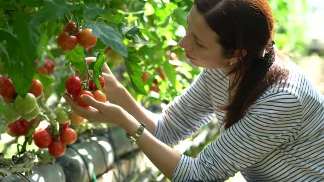 frau, die ernte von tomaten im gewächshaus - pflücken stock-videos und b-roll-filmmaterial