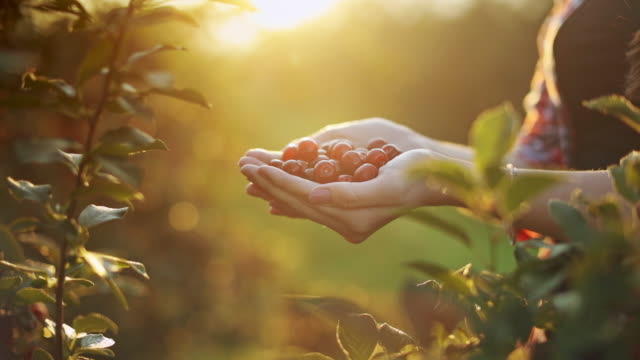 Woman holding handful of cherries stock video on sunny summer morning
