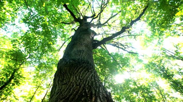 woman hugging a big beautiful oak - дуб стоковые видео и кадры b-roll