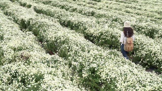 woman in a white chrysanthemum garden - нивяник стоковые видео и кадры b-roll