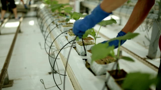 Woman in gloves to care for plants in a greenhouse. video