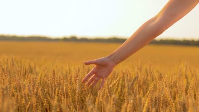 vídeos y material grabado en eventos de stock de mujer con vestido blanco caminando a lo largo del campo de cereales - prosperidad
