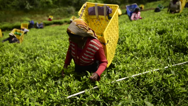 Woman is picking tea in Nuwara Eliya