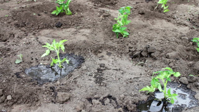 Woman is planting young tomato plants in the garden, watering them and digging in the earth video