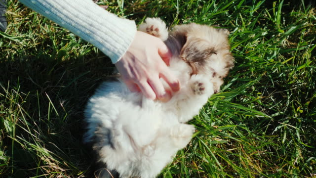 A woman is stroking a puppy on the stomach. Pretty puppy lies on the grass video