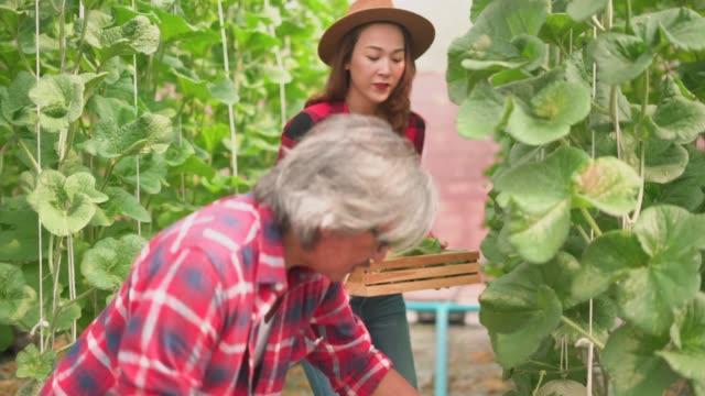 kadınların çiftlikte olgun kavun hasat erkek çiftçi bakıyor - bahçe ekipmanları stok videoları ve detay görüntü çekimi