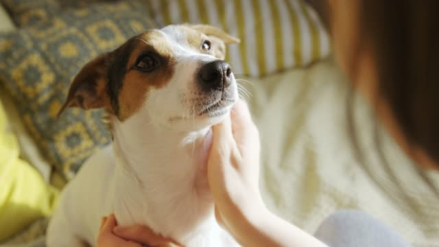 Woman petting her dog in a bed Back view of woman petting her dog in a bed jack russell terrier stock videos & royalty-free footage
