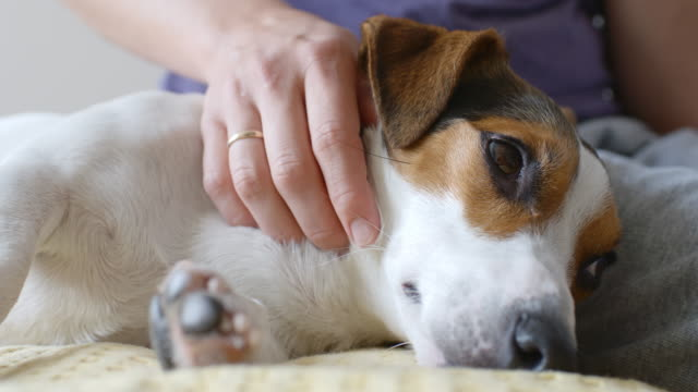 woman petting her dog - terrier video stock e b–roll