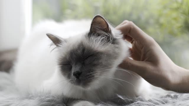 柔らかな絨毯の上に横たわる彼女の素敵な猫をかわいがる女性 - ふわふわ点の映像素材/bロール