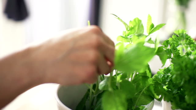 woman picking basil leaves from plant in flowerpot video