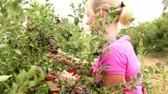 Woman picking blueberries video