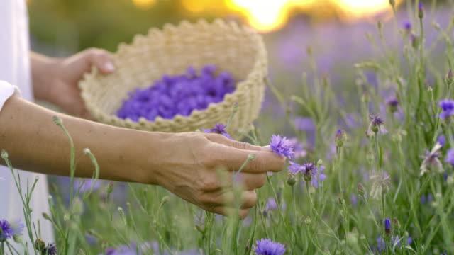 vidéos et rushes de woman ms cueillette de bleuets au coucher du soleil - plante aromatique