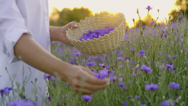 ms woman picking cornflowers - naturopathy stock videos and b-roll footage