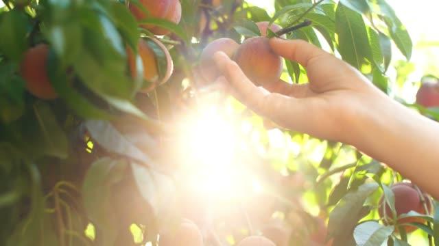 vídeos de stock e filmes b-roll de woman picking peaches from branch - picking fruit