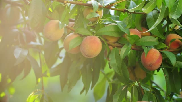 woman picking peaches - brzoskwinia drzewo owocowe filmów i materiałów b-roll
