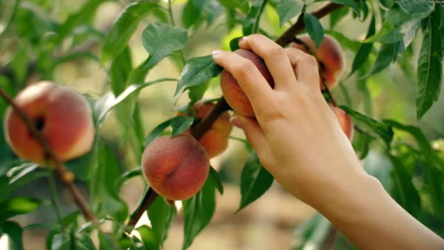 vídeos de stock e filmes b-roll de woman picking peaches - picking fruit