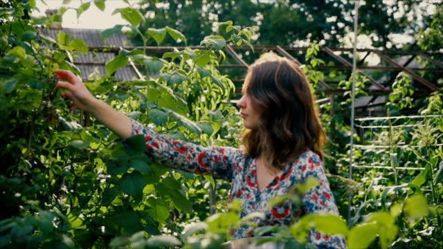 vídeos de stock e filmes b-roll de woman picking raspberry in the countryside - picking fruit
