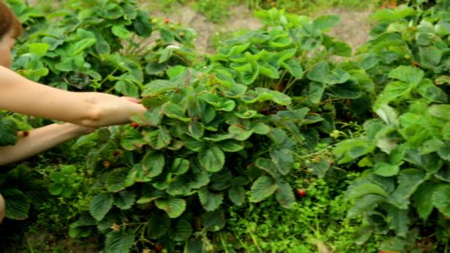 vídeos de stock e filmes b-roll de woman picking strawberries in garden - picking fruit