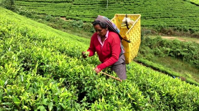 Woman Picking Tea in Sri Lanka video