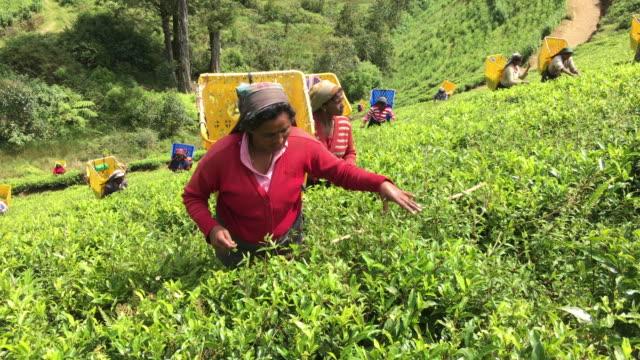 Woman Picking Tea in Sri Lanka 4K Video of a female workers picking tea bush tips to make ceylon tea. sri lanka stock videos & royalty-free footage