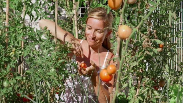 pan-frau kommissionierung tomaten im garten auf sonnigen tag - dachgarten videos stock-videos und b-roll-filmmaterial