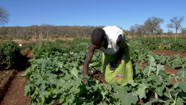 Woman picking vegetables which have been grown in a community garden,  Zimbabwe