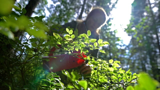 vídeos de stock e filmes b-roll de woman picking wild berries using a special harvester in national park forest - baga