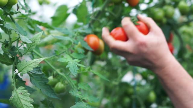 vídeos de stock e filmes b-roll de a woman picks ripe tomatoes - picking fruit