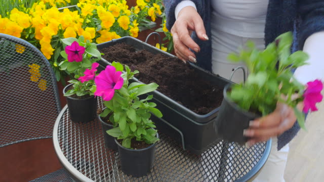 Woman plant flowers into flower pot Woman plant flowers into flower pot potted plant stock videos & royalty-free footage