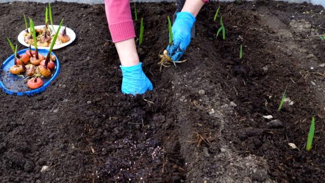 vídeos y material grabado en eventos de stock de una mujer de plantar los bulbos de gladiolo. - botánica