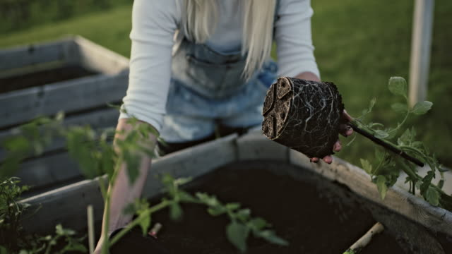 MS Woman planting potted tomato plant in garden soil of raised bed Woman planting potted tomato plant in garden soil of raised bed. Rack focus. Real time. horticulture stock videos & royalty-free footage