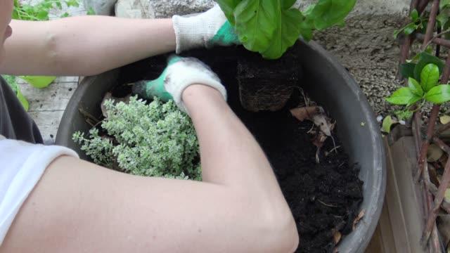 kvinna växter en basilika i kruka - basilika ört bildbanksvideor och videomaterial från bakom kulisserna