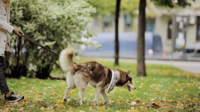 Woman playing with a dog husky in park at the autumn day, slow motion video