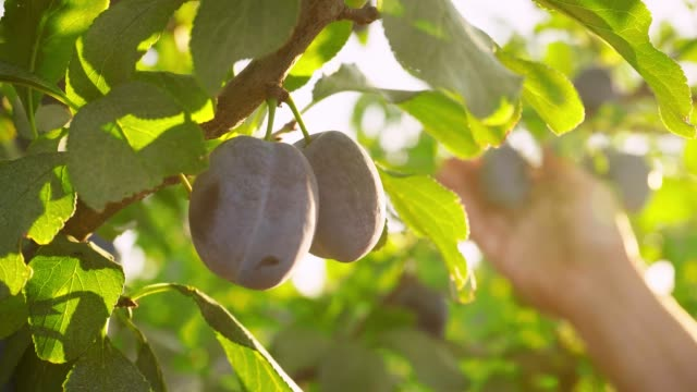 Woman plucks plums on a sunny day in the garden. Sunlight floods the orchard. Woman plucks plums on a sunny day in the garden. Sunlight floods the orchard. Natural organic food. Harvesting. Diet plum stock videos & royalty-free footage