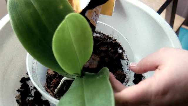 frau, die den raum in einen topf mit orchidee - orchidee stock-videos und b-roll-filmmaterial