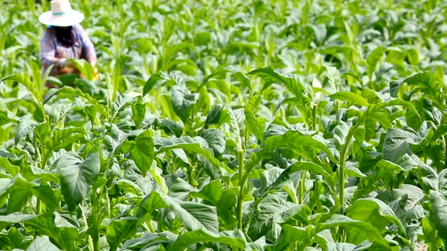 vídeos de stock, filmes e b-roll de mulher colocar inseticida e de fertilizantes na planta do tabaco - plantação