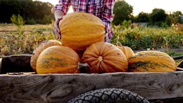 woman puts a ripened orange pumpkin on a trolley - pumpkin stock videos & royalty-free footage