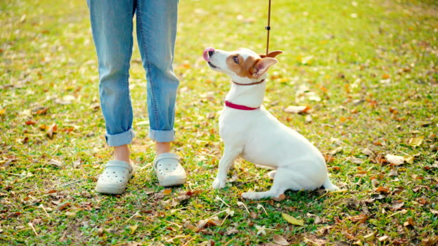 vídeos de stock e filmes b-roll de woman putting pet leash on jack russell terrier dog prepare for training - training
