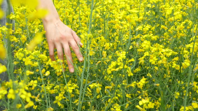 woman runs hand over amazing small yellow flowers closeup - colza video stock e b–roll