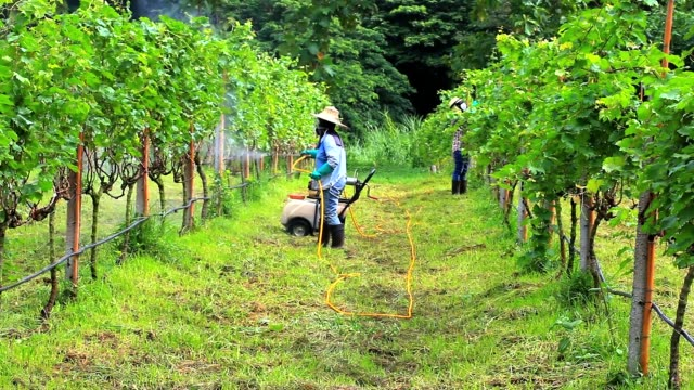 Woman spraying fertilizer in a vineyard video