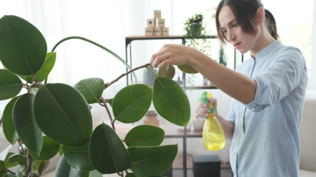 Woman spraying water on houseplant Woman spraying water on fresh leaves of plant at home potted plant stock videos & royalty-free footage