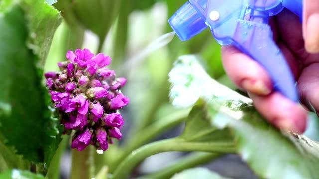 Woman sprays water on beautiful purple flower. Watering - Vidéo