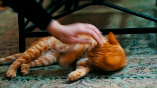 Woman Stroking a Red Cat Lying on the Carpet video