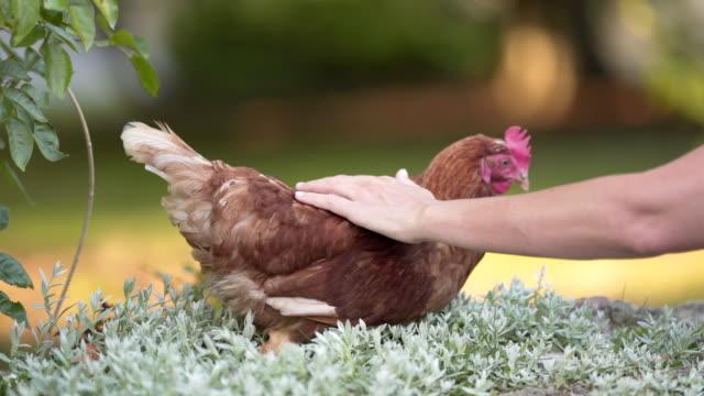vídeos de stock, filmes e b-roll de uma mulher acariciando uma galinha orgânica - ave doméstica