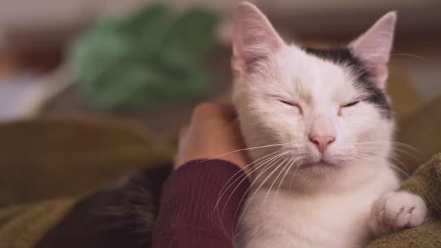 vídeos y material grabado en eventos de stock de mujer acariciando gato lindo acostado en sus brazos - cariñoso